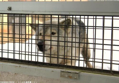 富山市ファミリーパーク シンリンオオカミ