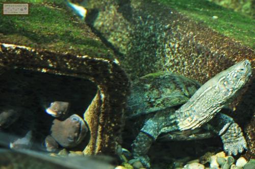ウナギ クサガメ