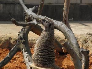 いしかわ動物園 スリカータ