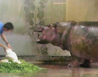 いしかわ動物園 カバ デカばあちゃん