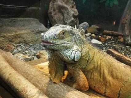 いしかわ動物園 グリーンイグアナ
