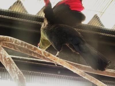いしかわ動物園 オウカンエボシドリ