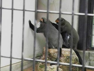 いしかわ動物園 ブラッザモンキー