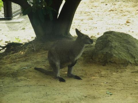 いしかわ動物園 アカクビワラビー