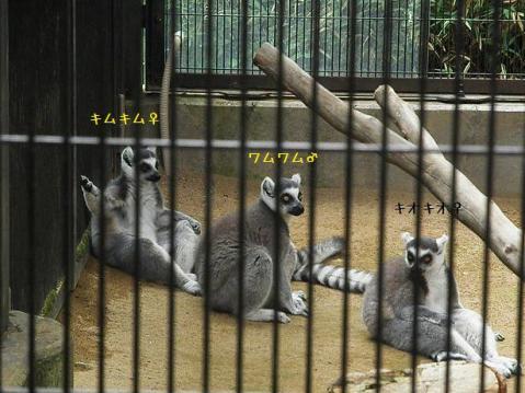 いしかわ動物園 ワオキツネザル