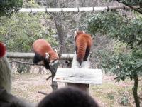 いしかわ動物園 レッサーパンダ