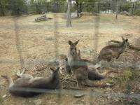 いしかわ動物園 オオカンガルー