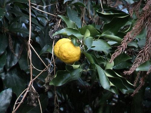 2012.1.14 冬の庭木 012