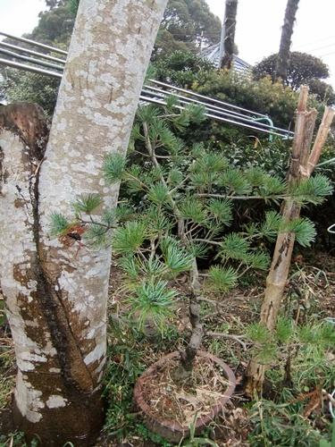 2012.2.24 五葉松 003