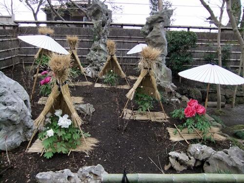 2012.3.4 鎌倉散策 鶴岡八幡宮ボタン園111 (17)
