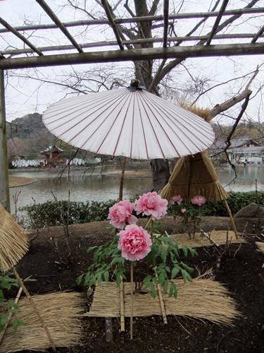 2012.3.4 鎌倉散策 鶴岡八幡宮ボタン園111 (22)