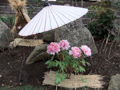 2012.3.4 鎌倉散策 鶴岡八幡宮ボタン園111 (23)