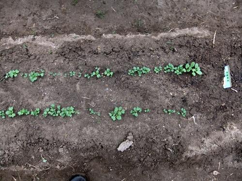 2012.3.17 芽の出た野菜 021 (65)