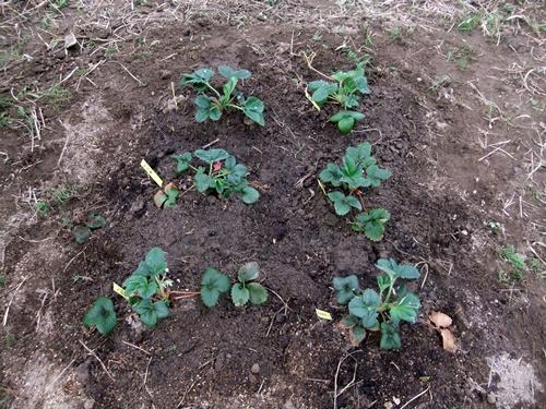 2012.3.17 花咲く野菜 021 (3)