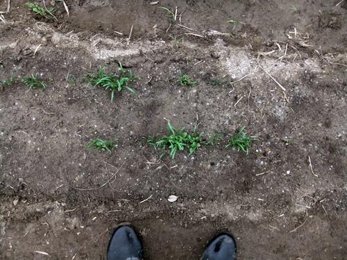 2012.3.17 芽の出た野菜 021 (67)