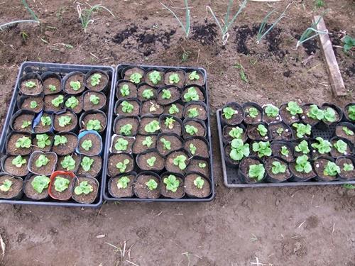 2012.3.17 芽の出た野菜 021 (68)
