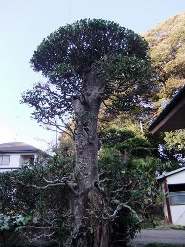 2012.4.8庭木の剪定 040 (25)