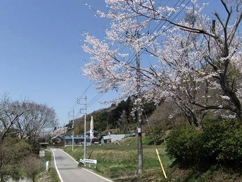 2012.4.21 鎌足公民館の桜 005 (3)