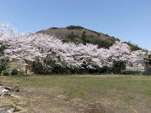 2012.4.21 鎌足公民館の桜 005 (4)