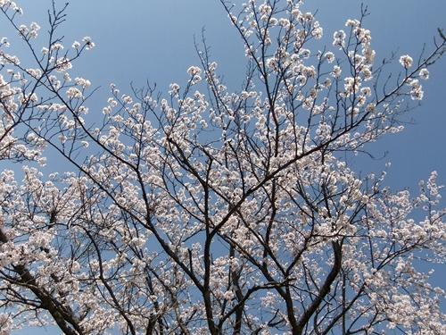 2012.4.21 鎌足公民館の桜 005 (1)