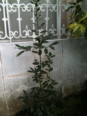 佐藤家月桂樹