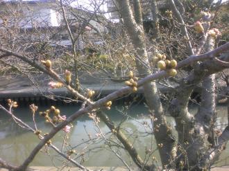 木屋川 サクラ