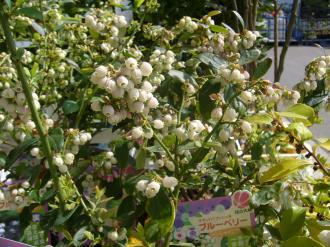 ブルベリー花