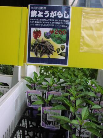 紫トウガラシ