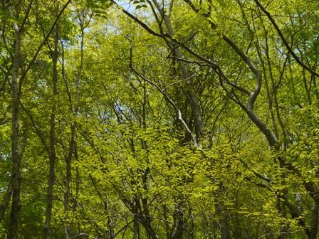 天狗の森 新緑 1