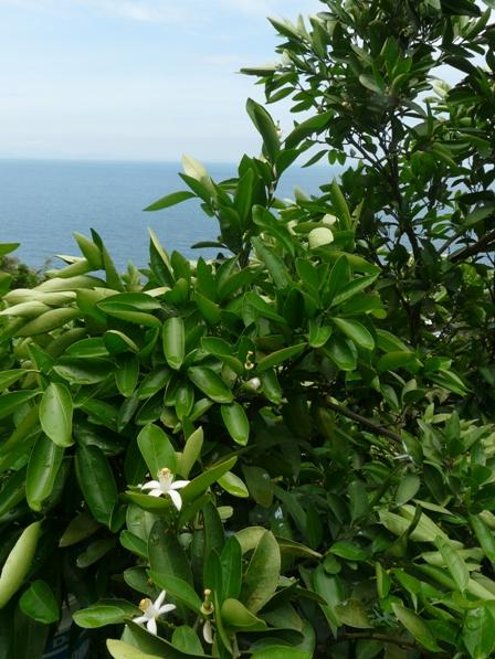 海とミカンの花