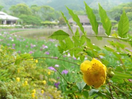 南楽園 花菖蒲 & キンシバイ