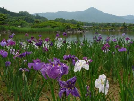 南楽園 花菖蒲 3