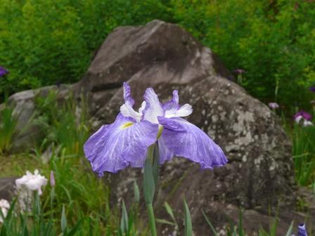南楽園 花菖蒲 9  奏花の薫
