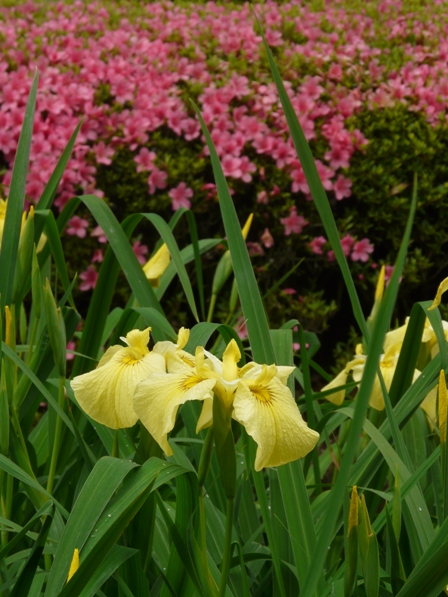 南楽園 花菖蒲 10  黄冠