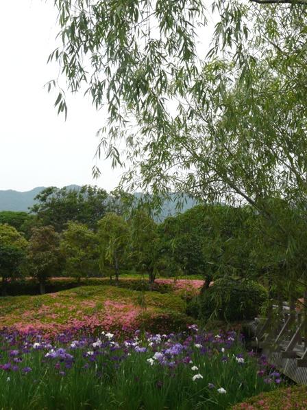 南楽園 花菖蒲 15