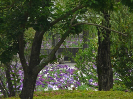 南楽園 花菖蒲 16