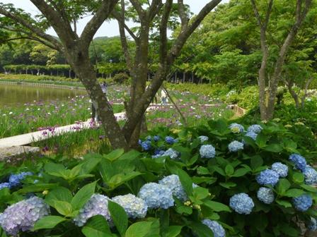 南楽園 花菖蒲 & 紫陽花
