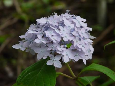 惣河内神社 山紫陽花 伊予てまり 1