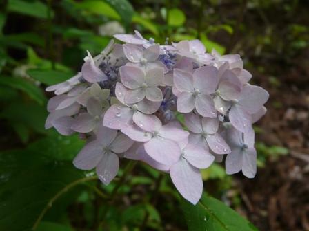 惣河内神社 山紫陽花 伊予てまり 2
