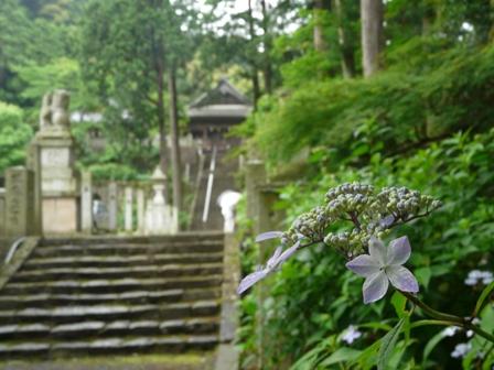 惣河内神社 山紫陽花 1