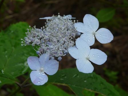 惣河内神社 山紫陽花 伊予の盃