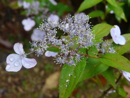 惣河内神社 山紫陽花 伊予の五月雨 2