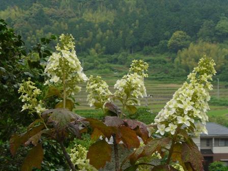 惣河内神社 八重柏葉紫陽花 2