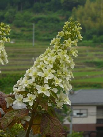 惣河内神社 八重柏葉紫陽花 1