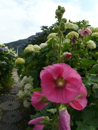 タチアオイと紫陽花 1