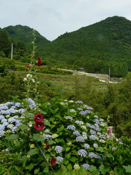タチアオイと紫陽花 3