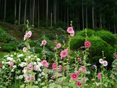 タチアオイと紫陽花 2