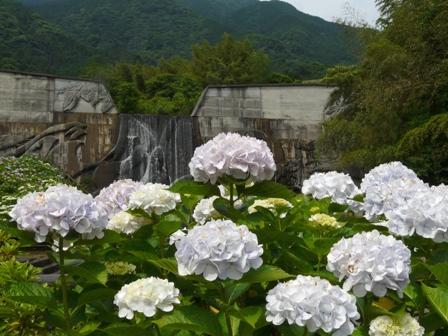 白猪谷堰堤 紫陽花 2