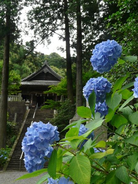 惣河内神社 紫陽花 1