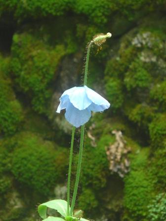 皿ヶ嶺・風穴 ヒマラヤの青いケシ 2